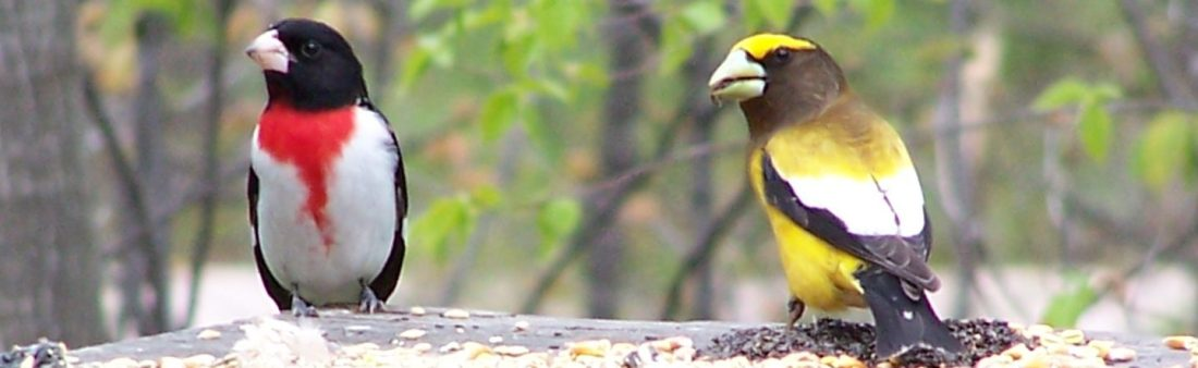 cropped-grosbeaks4.jpg