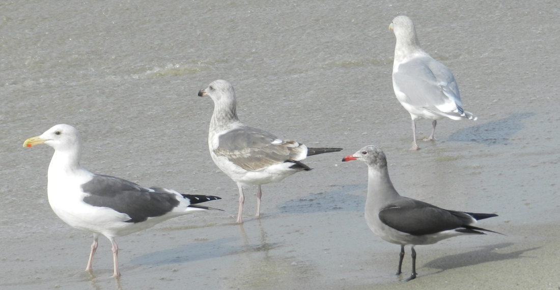 gulls in California