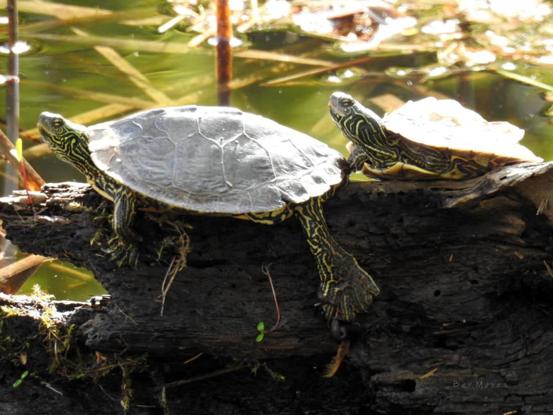 map turtles Bev Moses