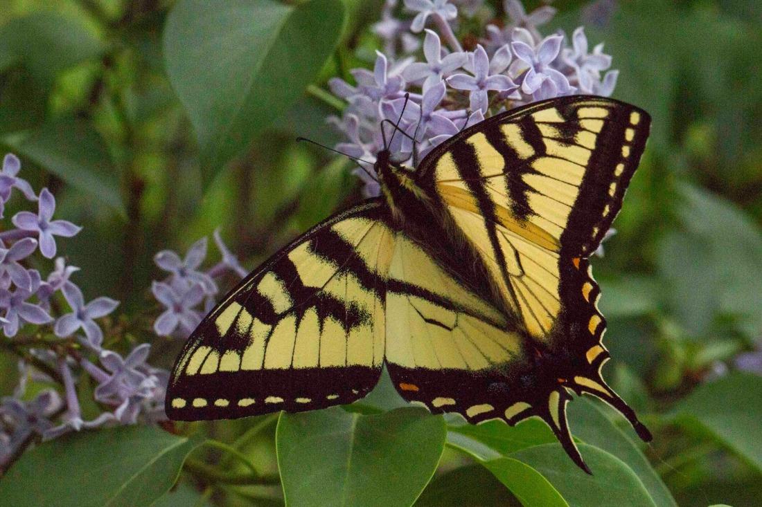 Tiger swallowtail Dave Colton