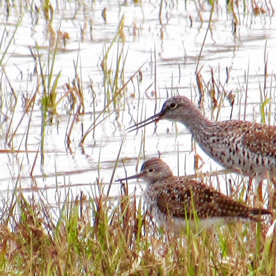 Greater and Lesser Yellowlegs S Ellis