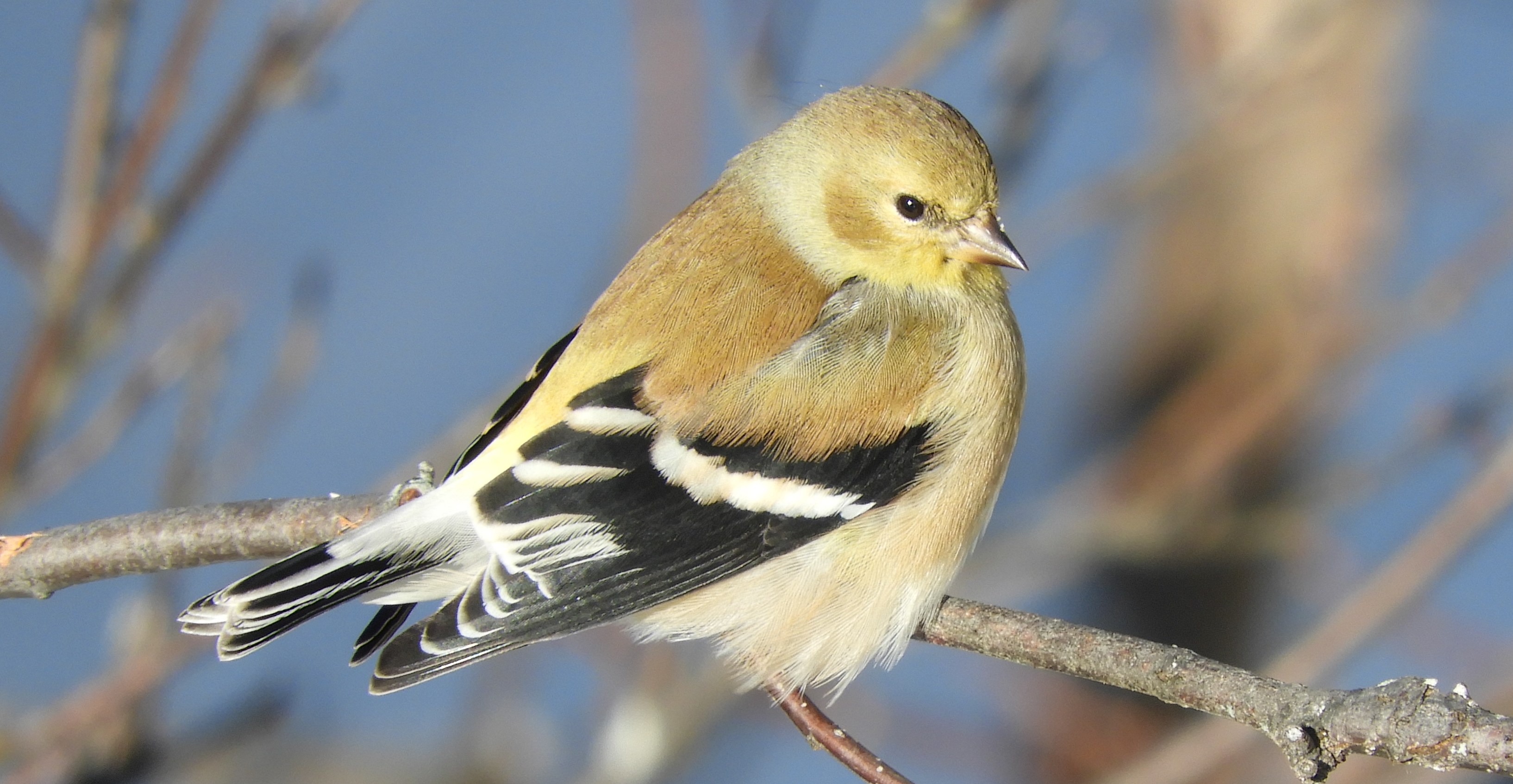 winter American Goldfinch R Cunningham